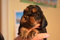 Welpen geboren am 29-08-2013